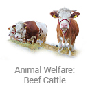 animal_welfare_beef_cattle