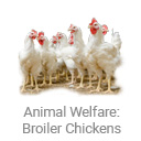 animal_welfare_broiler_chickens